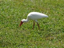 American White Ibis Foraging for Food Stock Images