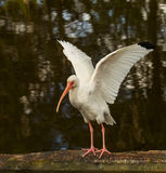 American White Ibis Royalty Free Stock Image