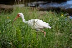 American White Ibis II Royalty Free Stock Photography