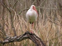 American white ibis on one leg Stock Photo