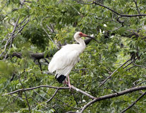 American White Ibis perched in a tree Stock Photography