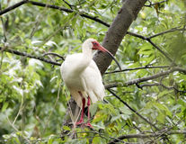 American White Ibis perched in a tree Stock Images