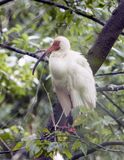 American White Ibis perched in a tree Stock Photo