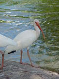 American white ibis Royalty Free Stock Photography