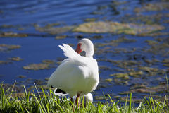 American White Ibis with a red beak Royalty Free Stock Photography
