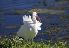 American White Ibis with a red beak (Eudocimus albus) Royalty Free Stock Image