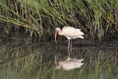 American White Ibis and reflectio Royalty Free Stock Image