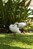 American White Ibis Stock Photography