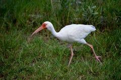 American White Ibis Running Stock Photography