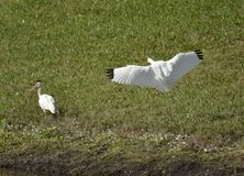 The American white ibis Stock Photos