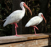 American White Ibis Stock Images