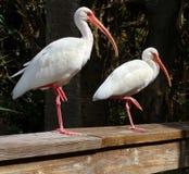 American White Ibis Stock Images