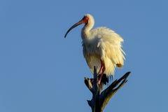 American white ibis Stock Image