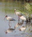 American White Ibis Wading Stock Images