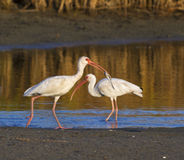 American white ibises (Eudocimus albus) fishing early in the morning in a shallow lake Stock Image