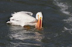 American White Pelican Royalty Free Stock Images