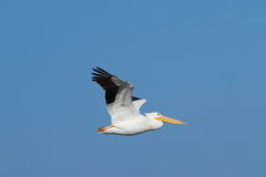American White Pelican Royalty Free Stock Photos
