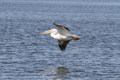 American White Pelican Stock Photos
