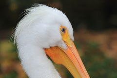 Free American White Pelican Stock Image - 34926271