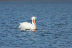 Pelican With A Bad Hairdo. An american white pelican with a bad hairdo swims a deep blue lake royalty free stock photo