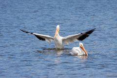 American white pelican bows to another. Like a knight to its king, an American white pelican spreads its wings outward and curtsies to another unimpressed royalty free stock photos