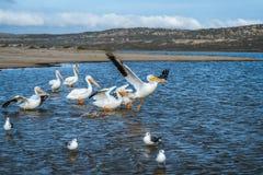 American White Pelican, California Coastline stock photo