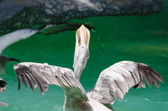 American White Pelican. Stock Photography