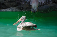American White Pelican. Stock Image