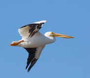 American White Pelican in Flight Royalty Free Stock Photography