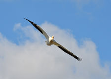 American white pelican in flight Royalty Free Stock Photos