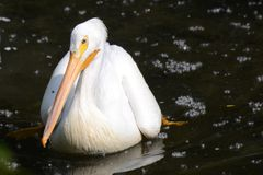 American White Pelican floating on a river Royalty Free Stock Photo