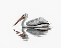 American White Pelican. White pelican floating on still water with a nice reflection royalty free stock photos