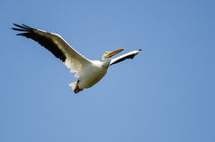 American White Pelican Flying in a Blue Sky Royalty Free Stock Image