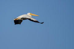 American White Pelican Flying in Blue Sky Royalty Free Stock Image