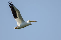 American White Pelican Flying in a Blue Sky Royalty Free Stock Photography