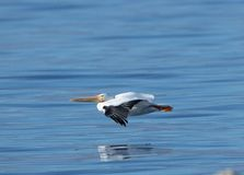 White Pelican Flying royalty free stock images