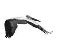 American White Pelican Flying on a White Background Royalty Free Stock Image