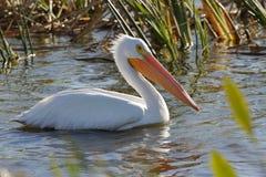 American White Pelican Foraging in a Florida Wetland Stock Photos