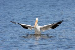 American white pelican genuflects in a lake. An American white pelican spreads its wings outward and genuflects after a successful landing in a blue lake royalty free stock images