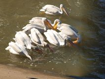 American White Pelican Juveniles Learning the Art of Real Fishing. royalty free stock photography