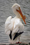 American White Pelican. Is a large aquatic bird. It breeds in interior North America, moving south and to the coasts, up to Central America, in winter royalty free stock image