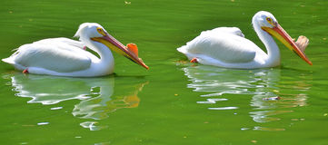 American white pelican. Is a large aquatic soaring bird from the order Pelecaniformes. It breeds in interior North America, moving south and to the coasts, as stock photography