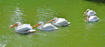 American white pelican. Is a large aquatic soaring bird from the order Pelecaniformes. It breeds in interior North America, moving south and to the coasts, as stock image