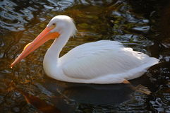 American White Pelican. Of the largest North American birds, the American . .These beautiful white pelicans cooperate in feeding and can be seen in winter royalty free stock photo