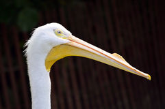 American White Pelican. Latin name Pelecanus erythrorhynchos Royalty Free Stock Photography