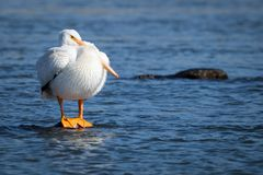 American White Pelican standing on a rock. American White Pelican lost in thought standing on a rock in water Royalty Free Stock Photos