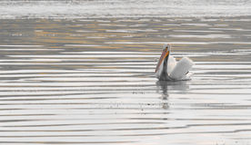 American White Pelican. Majestic pelican at Buffalo Pound Lake Royalty Free Stock Images