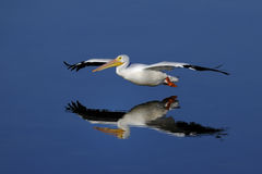 American white pelican, pelecanus erythrorhynchos Royalty Free Stock Photos