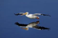 American white pelican, pelecanus erythrorhynchos. Landing Royalty Free Stock Photos