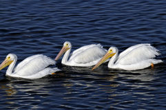 American white pelican, pelecanus erythrorhynchos Stock Image